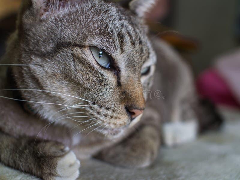 Tabby Cat Crouching con letargia immagini stock