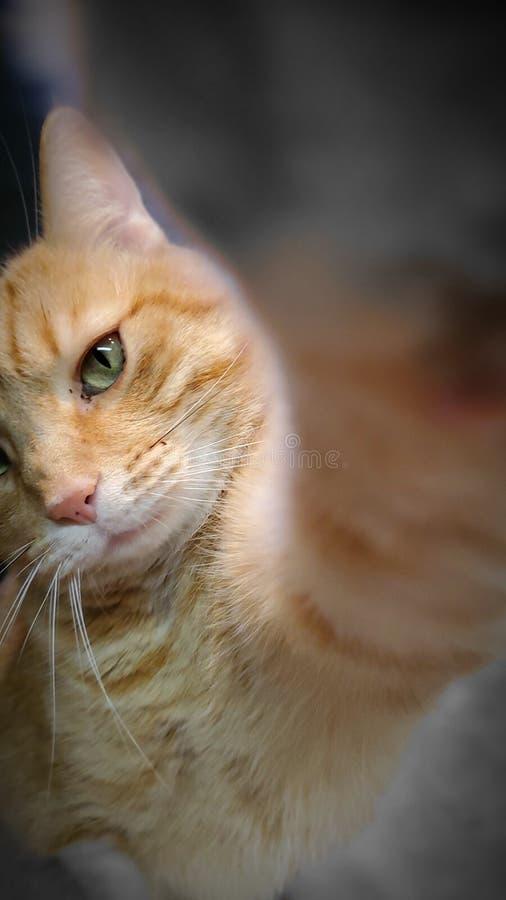 Tabby Cat dando ao cameraman um alto-5 foto de stock