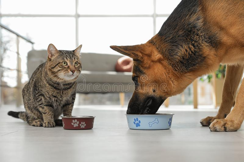 Tabby cat and dog eating from bowl on floor. Funny friends royalty free stock photo