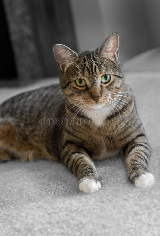 Tabby Cat doméstica no tapete imagem de stock