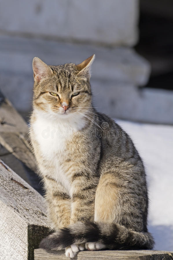 Tabby cat. Tabby domestic cat (Felis Cattus) sits royalty free stock images