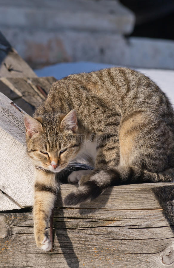 Tabby cat. Tabby domestic cat (Felis Cattus) stretches its paw royalty free stock photography