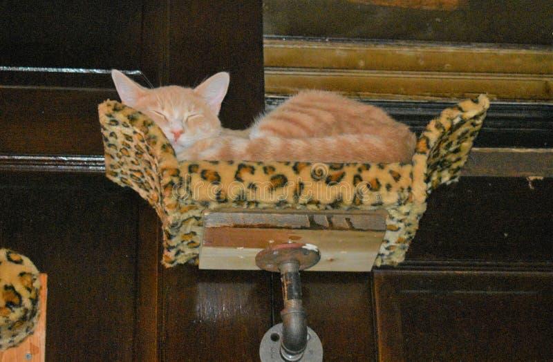 Tabby Cat Dozes orange dans une perche faite sur commande image stock
