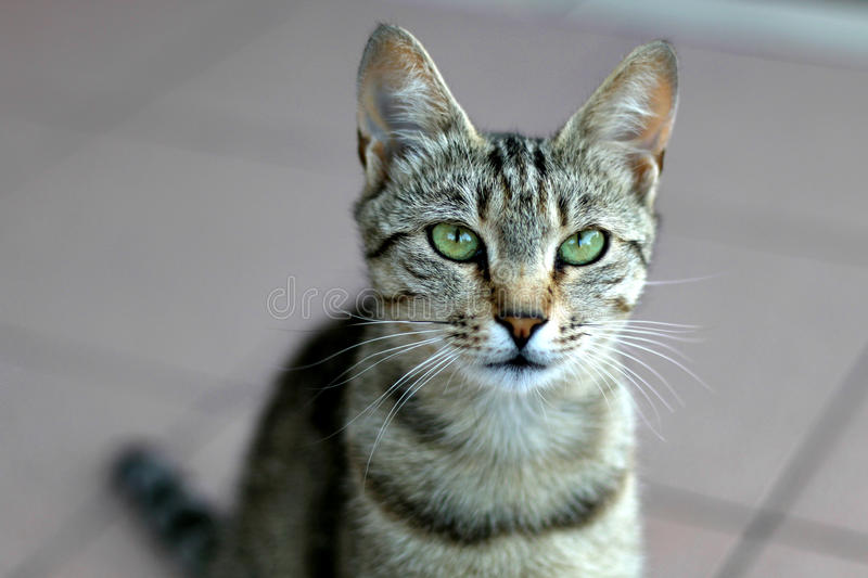 Tabby Cat. Elegant tabby cat with big green eyes. Close-up, selective focus royalty free stock image