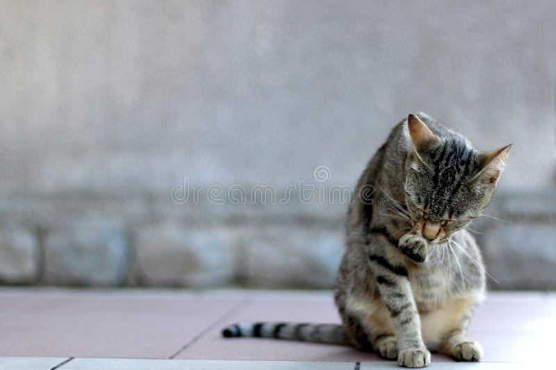 Tabby Cat. Elegant tabby cat sitting on the floor, grooming. Copy space, selective focus stock photos
