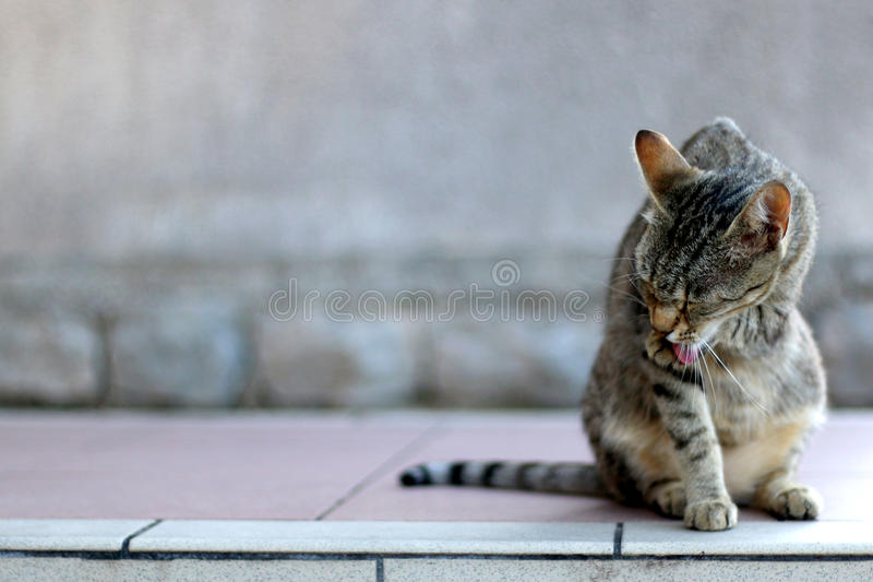 Tabby Cat. Elegant tabby cat sitting on the floor, grooming. Copy space, selective focus royalty free stock photo