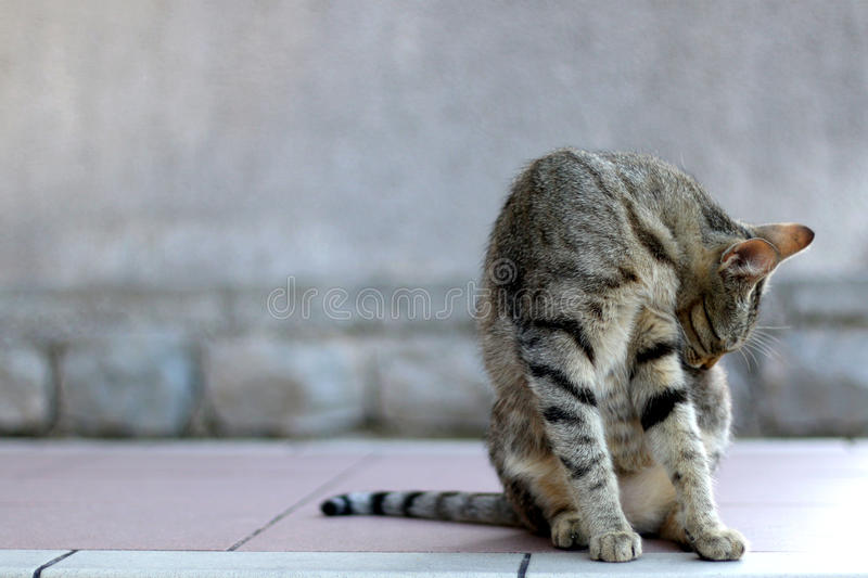 Tabby Cat. Elegant tabby cat sitting on the floor, grooming. Copy space, selective focus stock images