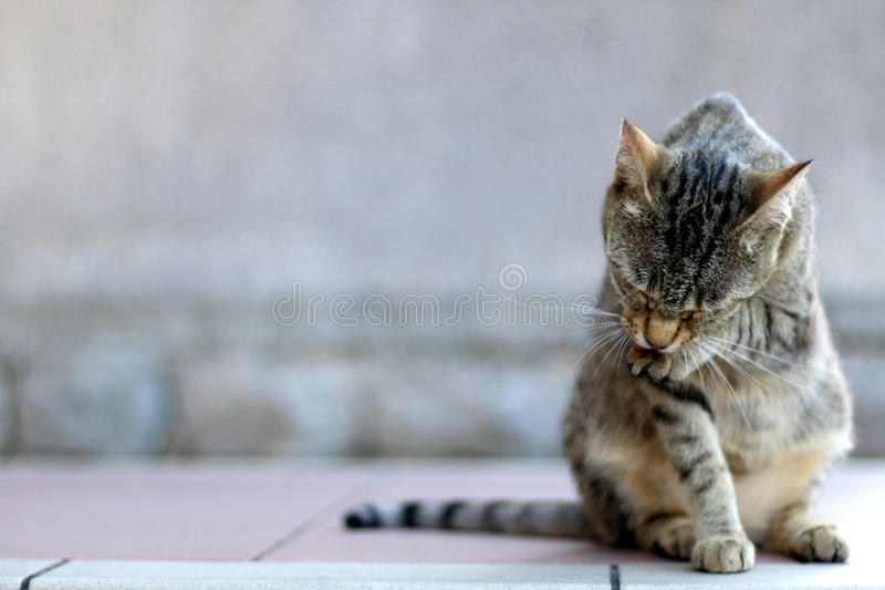 Tabby Cat. Elegant tabby cat sitting on the floor, grooming. Copy space, selective focus royalty free stock photography