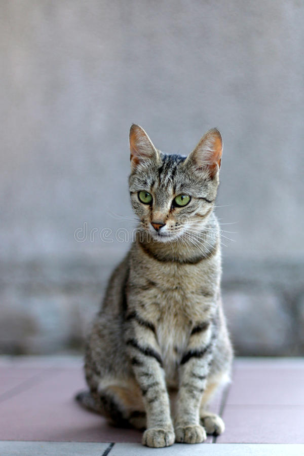 Tabby Cat. Elegant tabby cat sitting on the floor. Selective focus royalty free stock photography