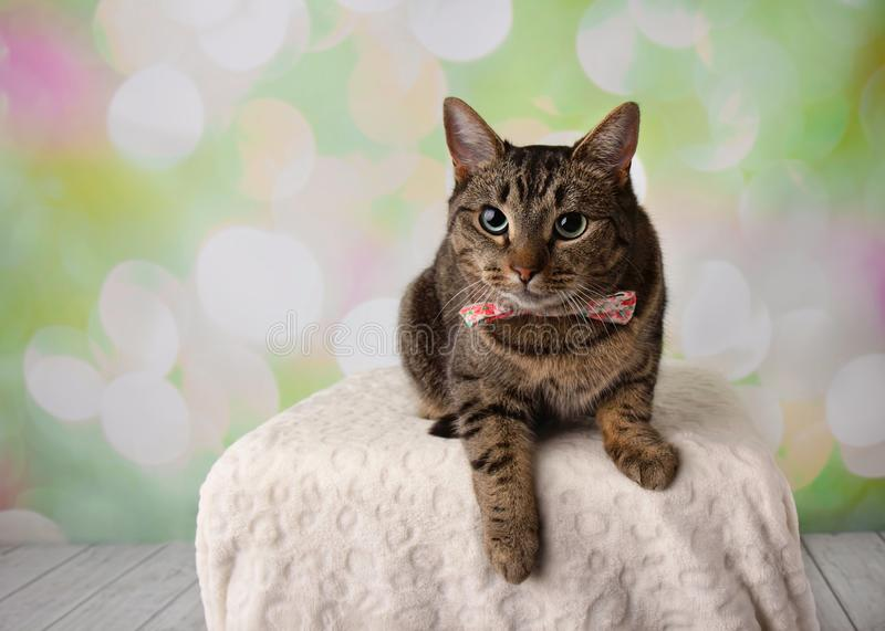 Tabby Cat with Green Eyes Lying Down Wearing Flower Bowtie stock photography