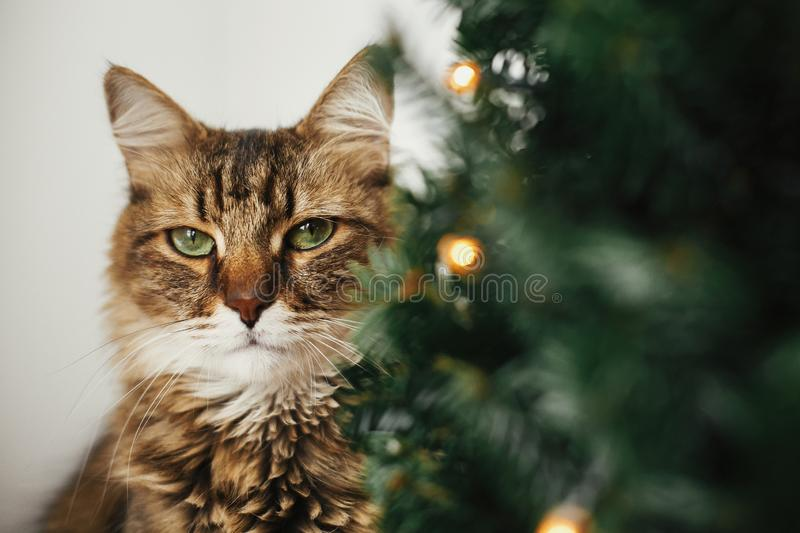 Tabby cat with green eyes sitting with funny emotions at christmas tree with lights.  Maine coon relaxing under festive christmas royalty free stock photography