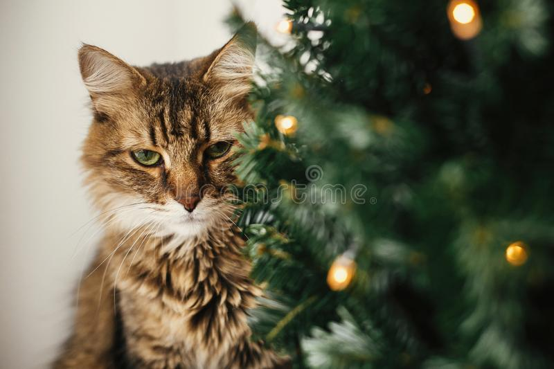 Tabby cat with green eyes sitting with funny emotions at christmas tree with lights.  Maine coon relaxing under festive christmas stock photos