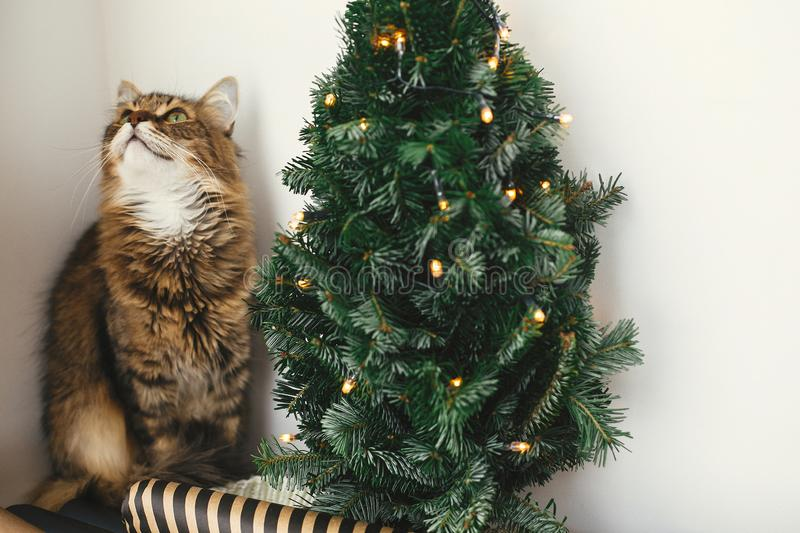 Tabby cat with green eyes sitting with funny emotions at christmas tree with lights.  Maine coon relaxing at wrapping festive royalty free stock photography