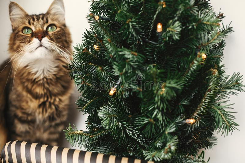 Tabby cat with green eyes sitting with funny emotions at christmas tree with lights.  Maine coon relaxing at wrapping festive royalty free stock photo