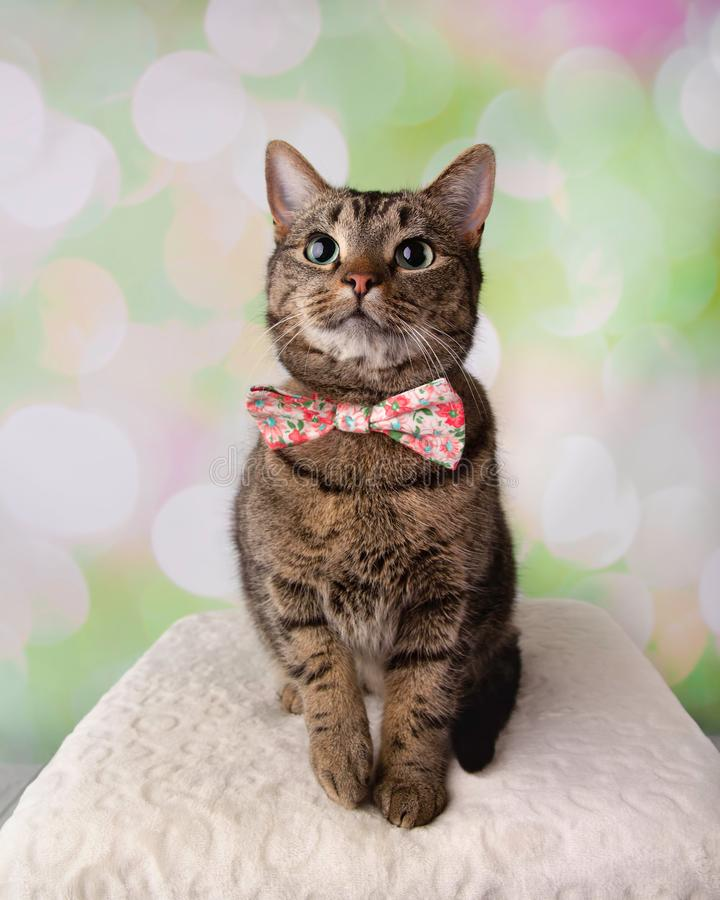 Tabby Cat with Green Eyes Sitting Looking Up Wearing Flower Bowt stock photography