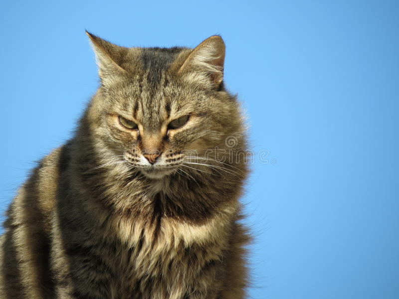 Download Tabby cat stock photo. Image of gray, cute, grey, furry - 34165390
