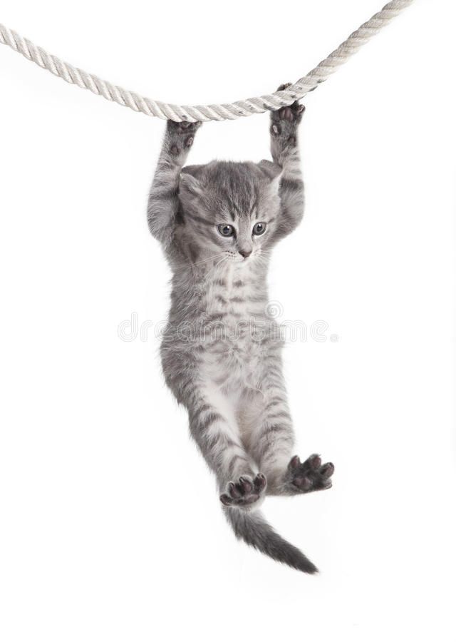 Free Tabby Cat Hanging On Rope Stock Images - 36689524