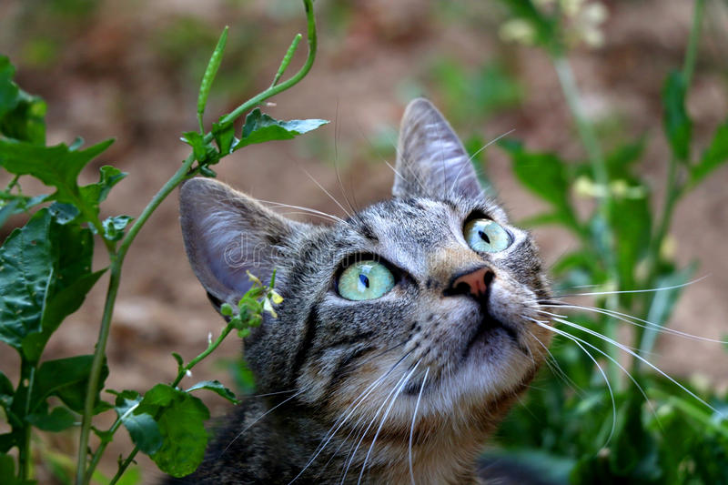Tabby Cat. Hiding in the garden. Selective focus royalty free stock photography