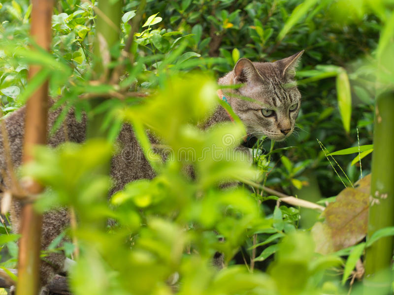 Tabby Cat Hiding im Wald lizenzfreies stockbild