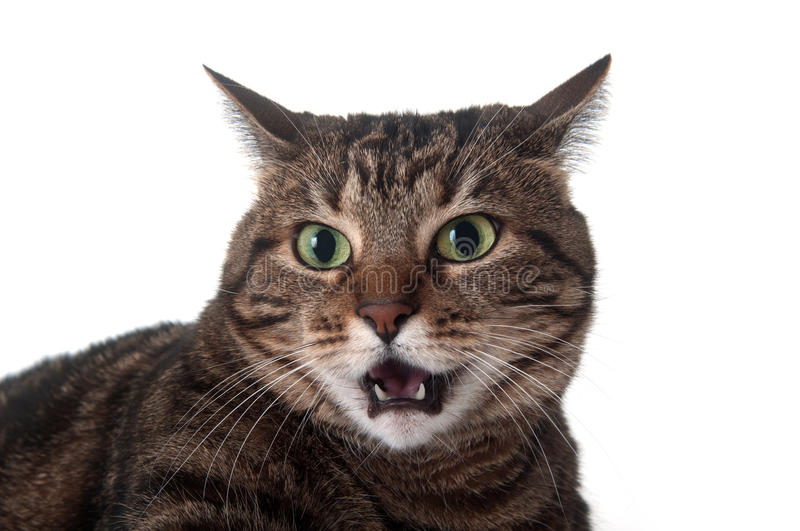 Tabby cat hissing. Angry adult tabby cat hissing and showing teeth on white background stock photo