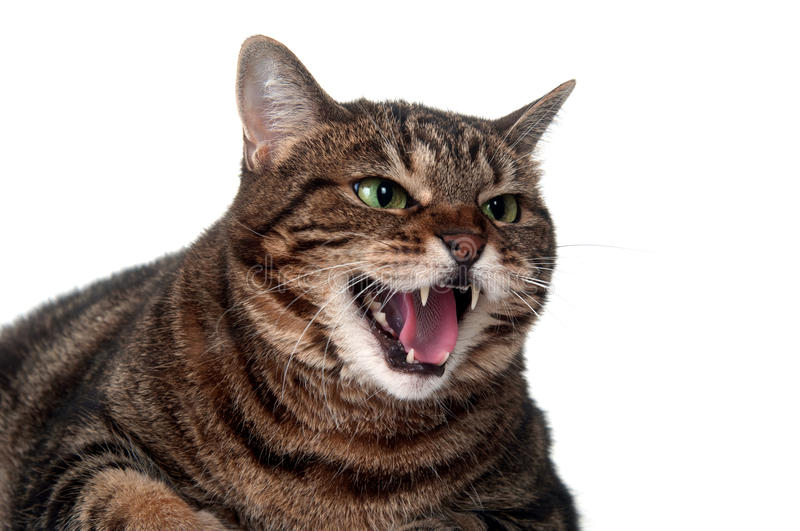 Tabby cat hissing. Angry adult tabby cat hissing and showing teeth on white background royalty free stock photo
