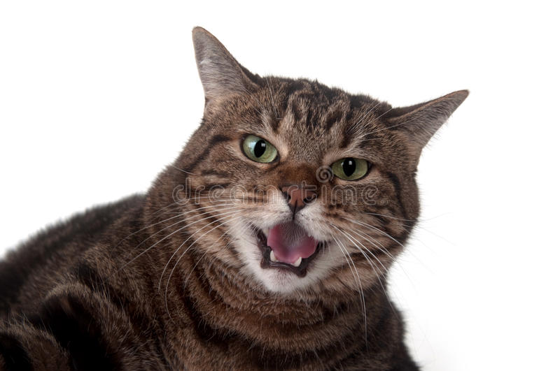 Tabby cat hissing. Angry adult tabby cat hissing and showing teeth on white background stock image