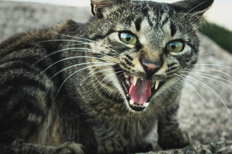 Tabby cat hissing. Tabby cat showing teeth and hissing stock image