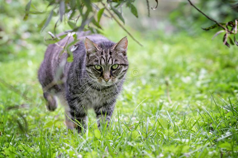 Tabby cat on the hunt is roaming through the grass in the garden, green background with copy space. Selected focus stock photo