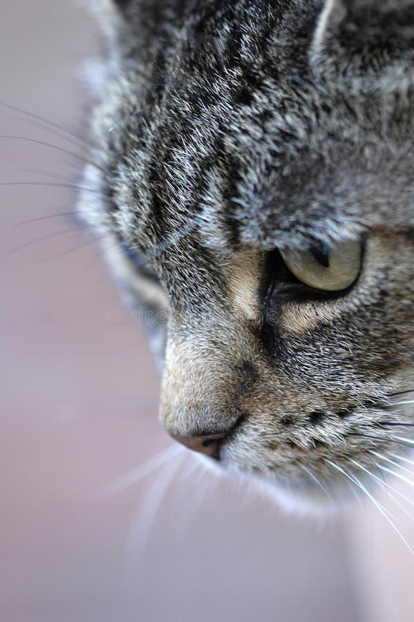 Tabby Cat Hunting royalty free stock photos