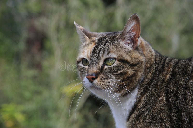 Download Tabby Cat Hunting stock image. Image of white, wonder - 5001489