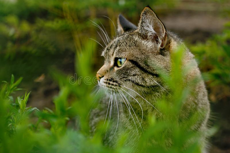 Tabby cat hunting in the grass stock images
