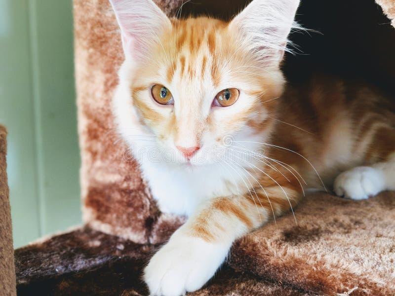 Tabby Cat Laying Down alaranjada imagem de stock