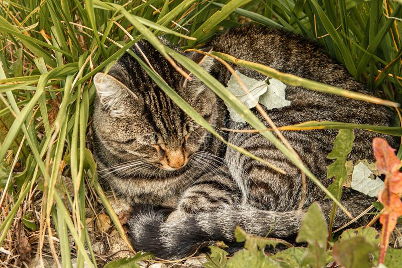 Tabby cat lies on grass outdoors in nature, curled up in a ball.  stock image