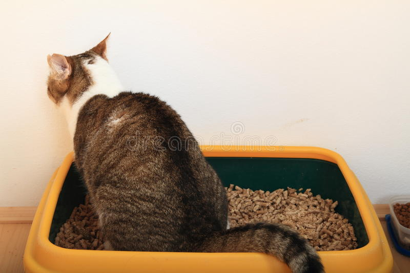 Tabby cat on litter box. Tabby cat with three colors - white, brown and black - sitting on litter box - cat toilette stock photography