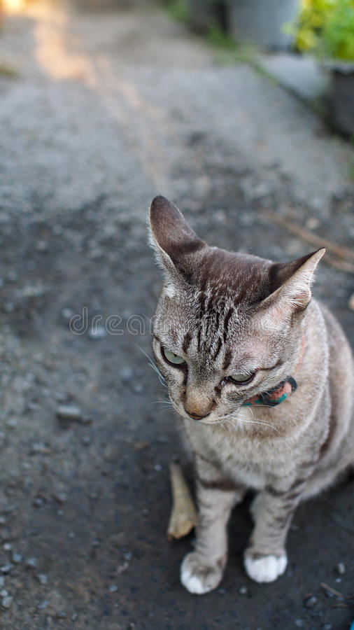 Tabby Cat Looking fotografia stock