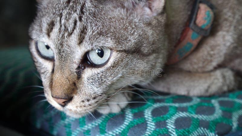 Tabby Cat Looking imagens de stock