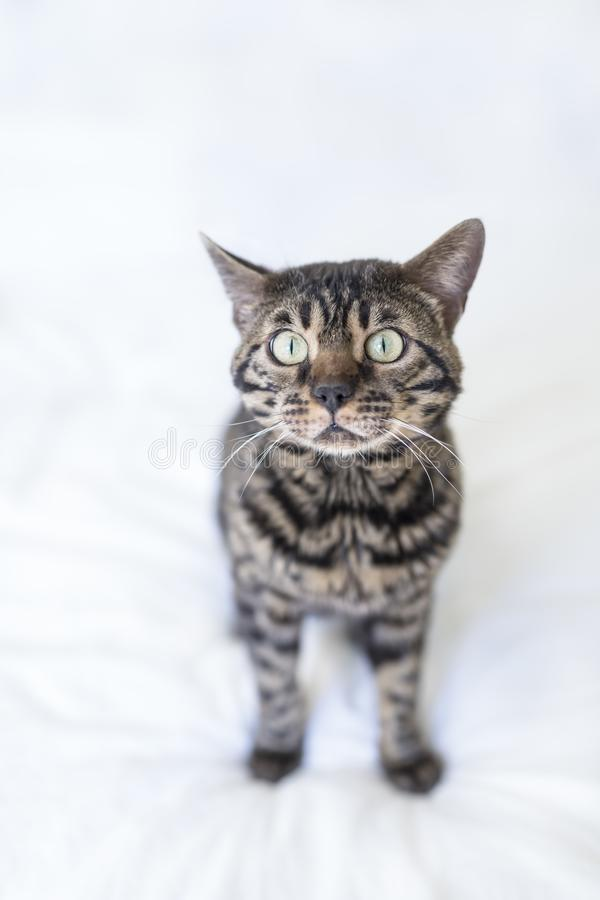 Tabby cat looking. A black-spotted Bengal cat sitting in a bed with white bed linen. Front view and shallow depth of field. The focus is on the cat& x27;s big stock photo