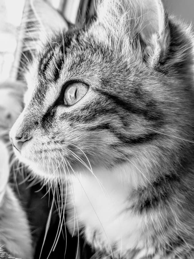 Tabby Cat Looking Out Window fêmea foto de stock royalty free