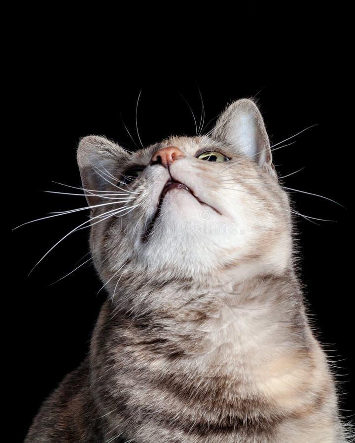 Tabby Cat Looking Up Against Black bakgrund arkivbilder