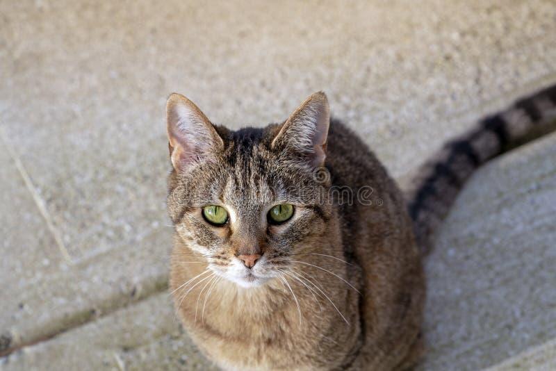 Tabby Cat Looking Up alla macchina fotografica immagine stock libera da diritti
