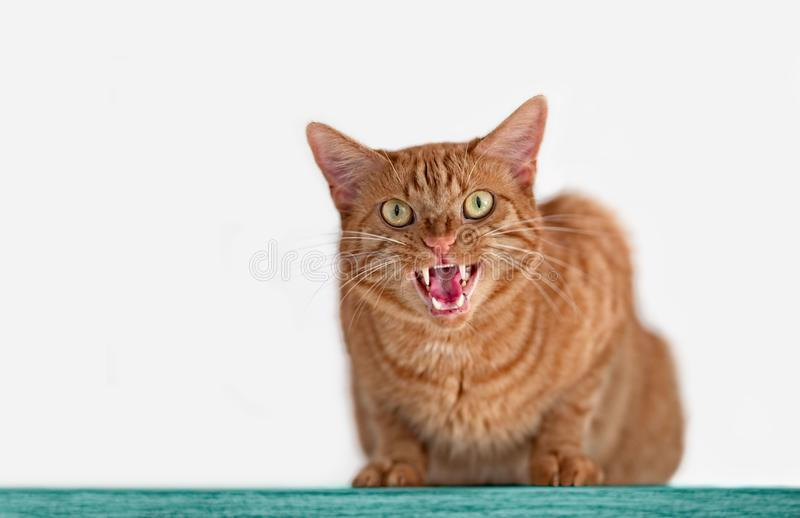 Angry ginger cat hissing to the camera. Tabby cat looks angry to the camera and hiss isolated on gray royalty free stock photography