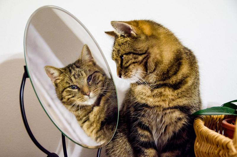 Tabby cat looks into the mirror. Cat in home. Beauty, style, salon. Tabby cat looks into the mirror. Cat is a pet, the family loves her. The cat lives in the stock photos