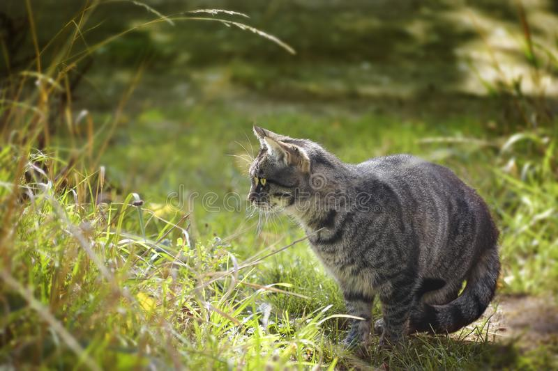 Tabby cat looks out for mice in the high grass in the garden, co stock photography