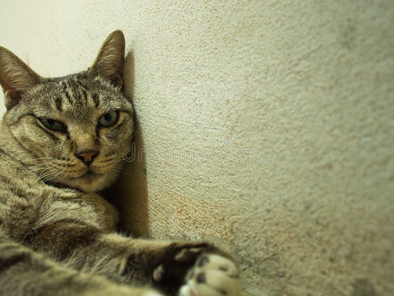 Tabby Cat Lying Against The Wall fotos de stock