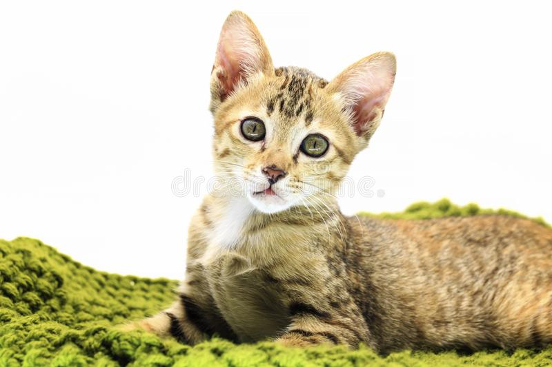 Tabby cat lying on green yarn and looking royalty free stock image