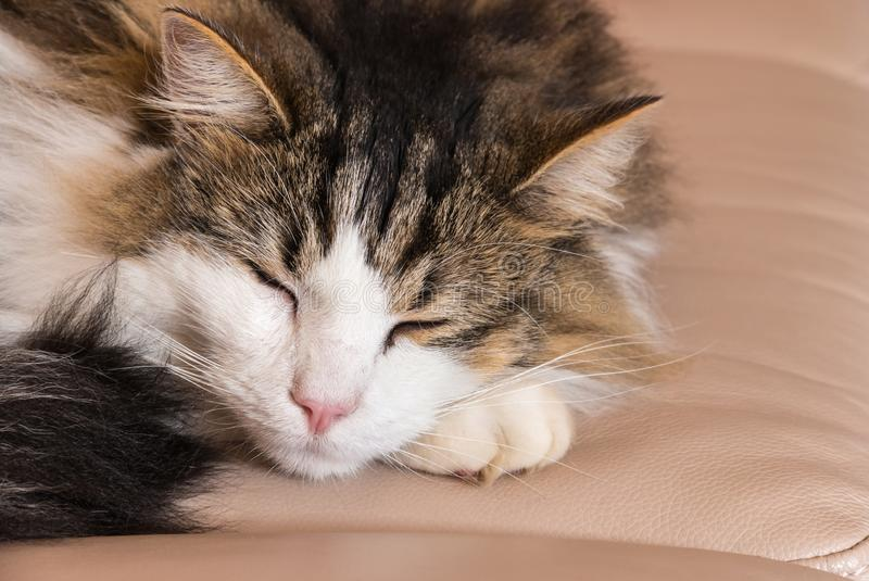 Tabby cat lying and sleeping on leather sofa royalty free stock photography