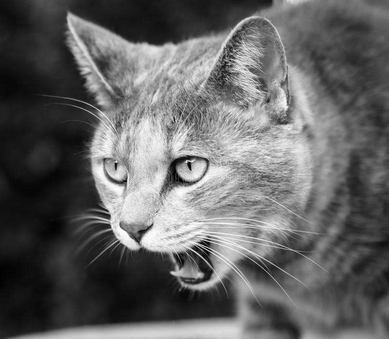 Tabby Cat Meowing Loudly in Schwarzweiss stockbilder