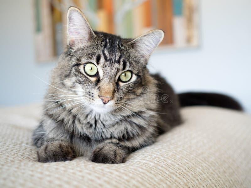 Tabby Cat mit grünen Augen auf Sahneblättern lizenzfreie stockbilder