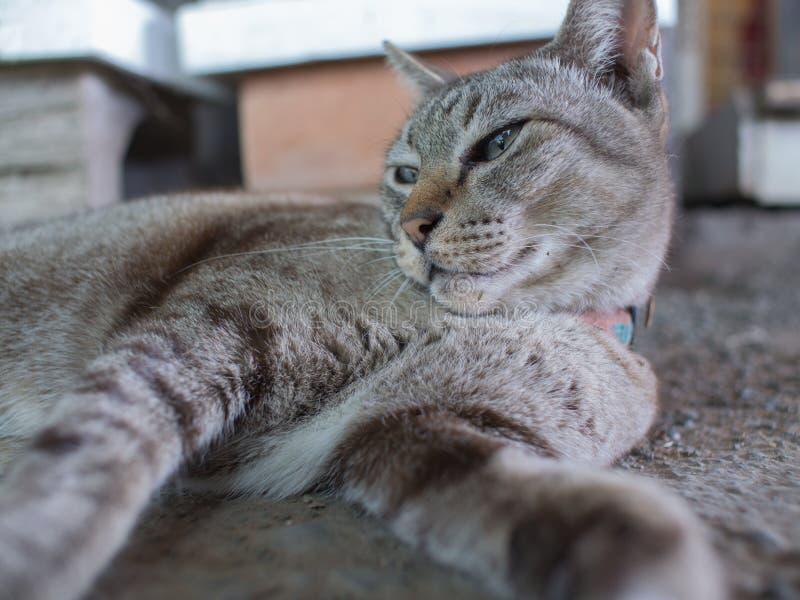 Tabby Cat molto sonnolenta fotografia stock libera da diritti