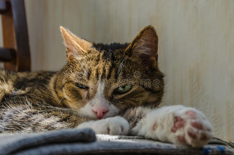 A tabby cat with a narrowed eye lies on a chair. Emotions of contempt, distrust, indifference.  royalty free stock images